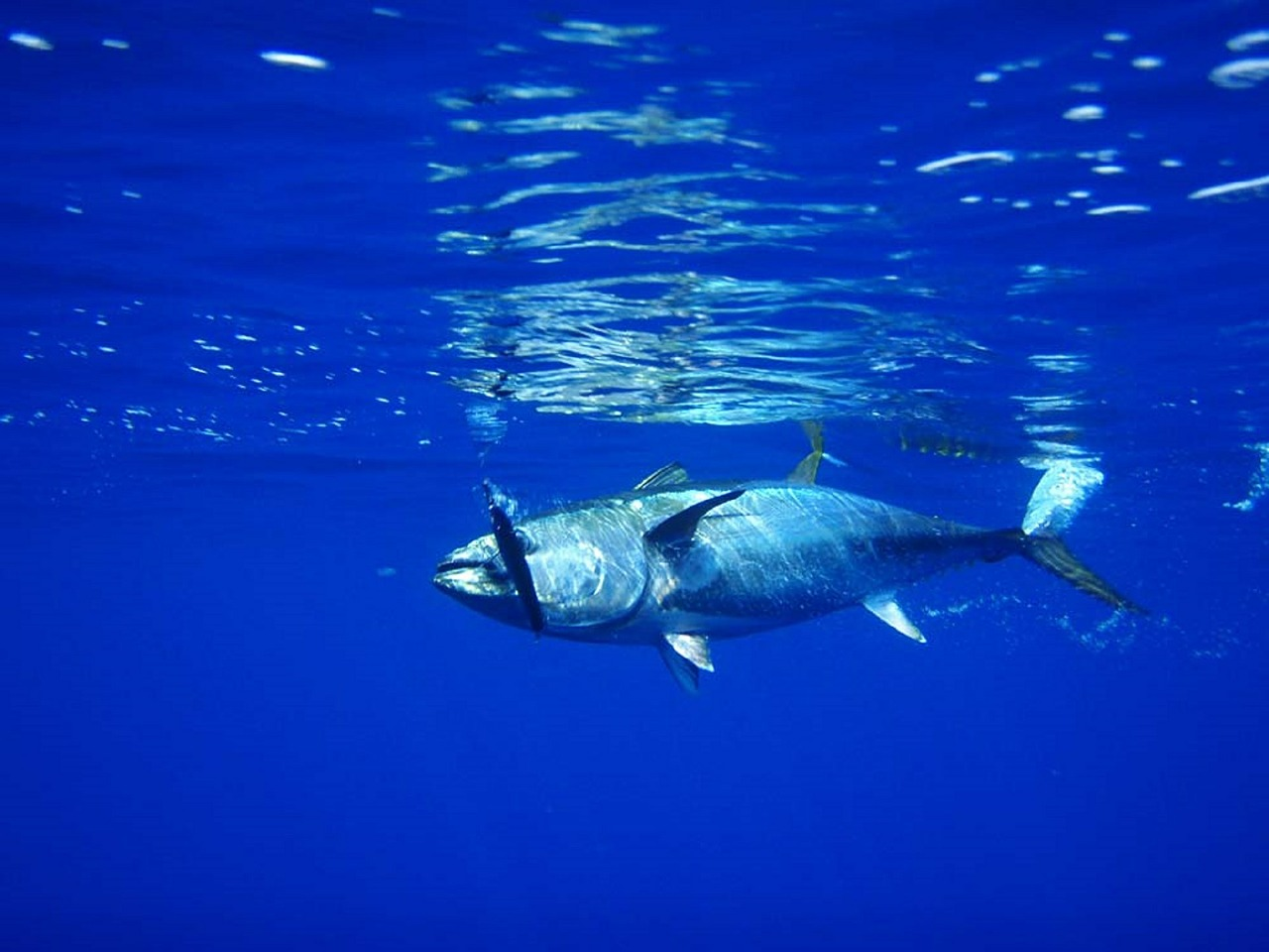 Thunfisch Angeln mit DJI Phantom 3 Professional Drohne